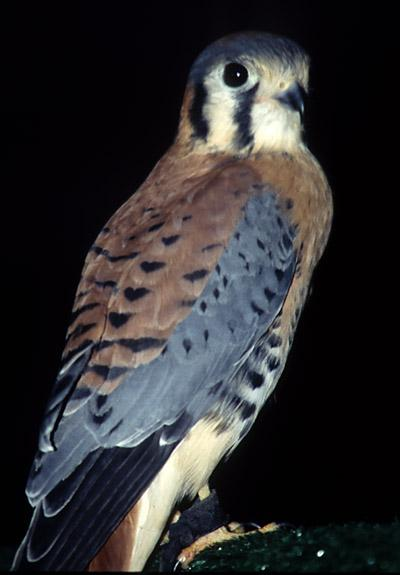 Falco sparverius (American kestrel)