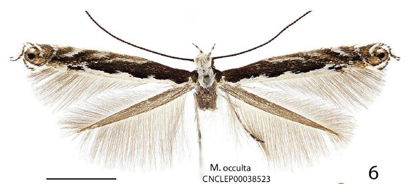 Micrurapteryx occulta