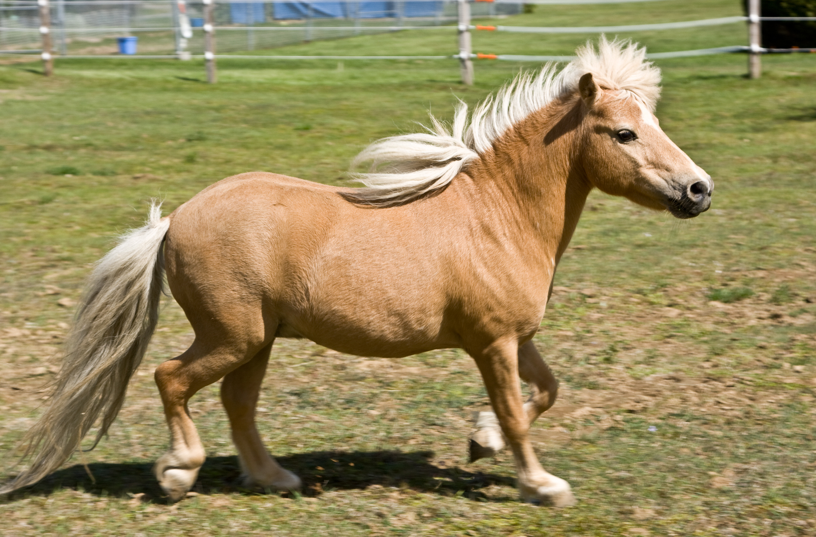 File:Miniature horse.jpg