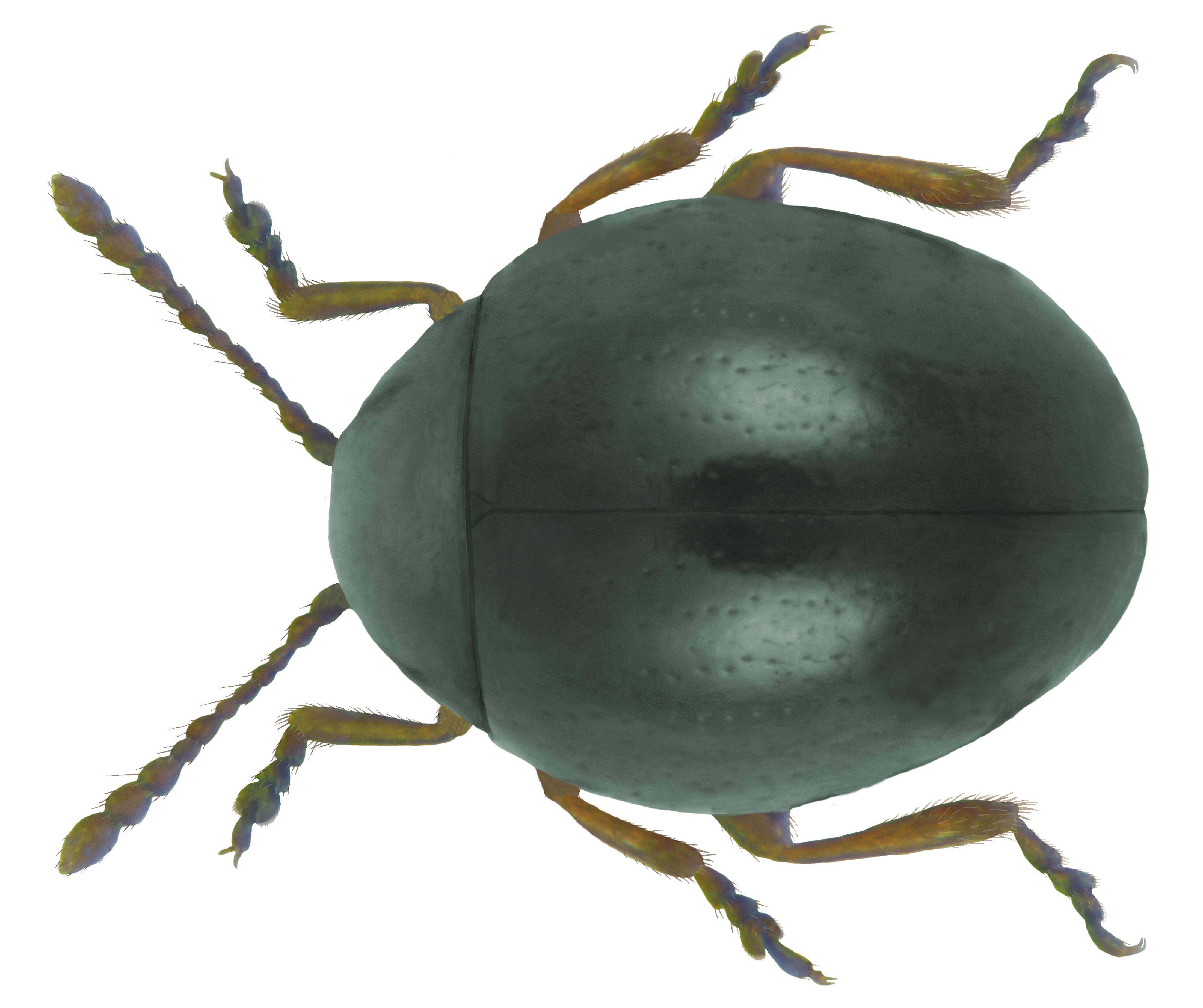 File mniophila muscorum koch 1803 jpg facts for kids for Koch wikipedia