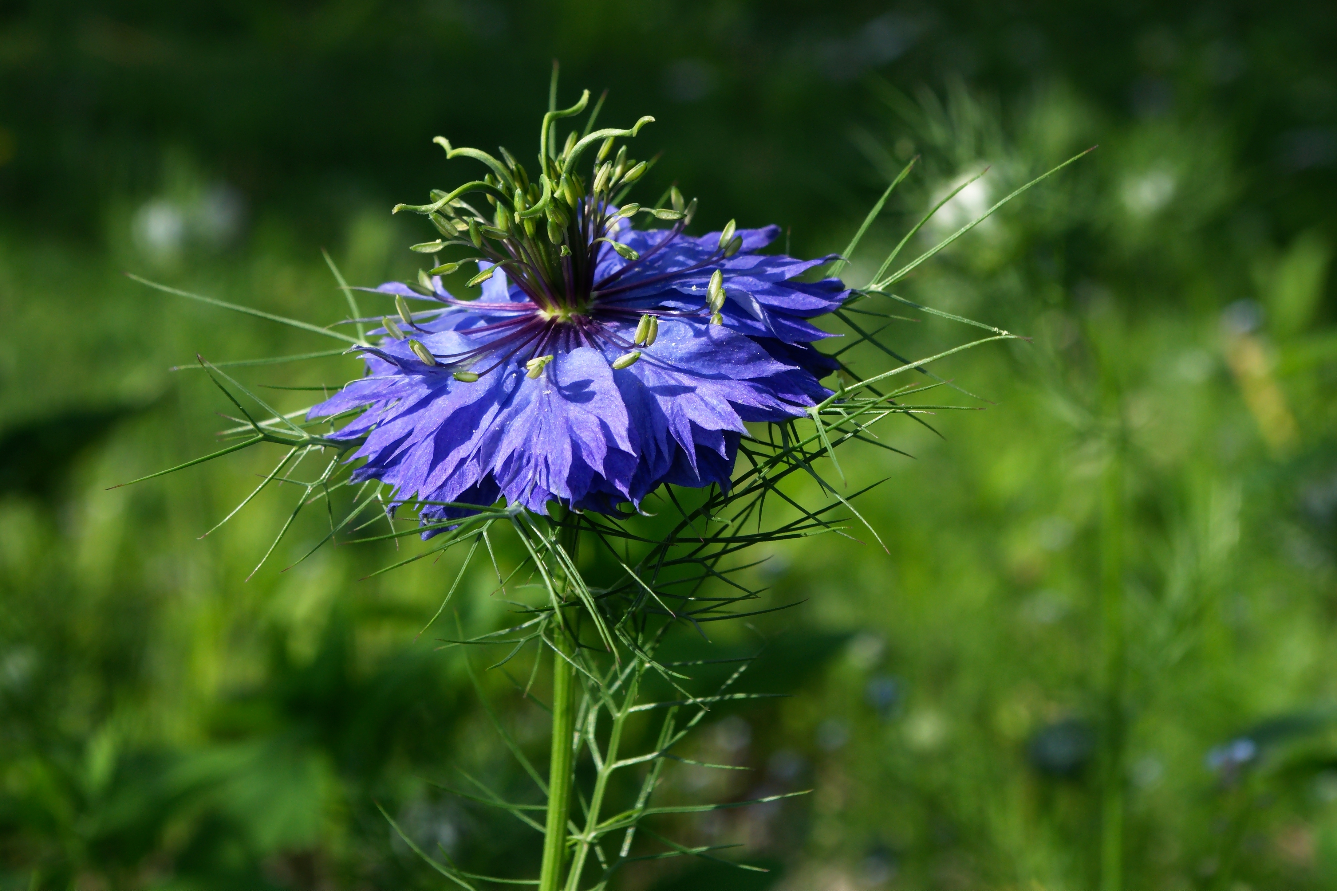 File nigella damascena wikimedia commons - Nigelle de damas ...