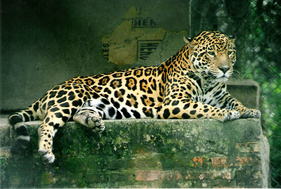 https://upload.wikimedia.org/wikipedia/commons/7/70/Panthera_onca.jpg