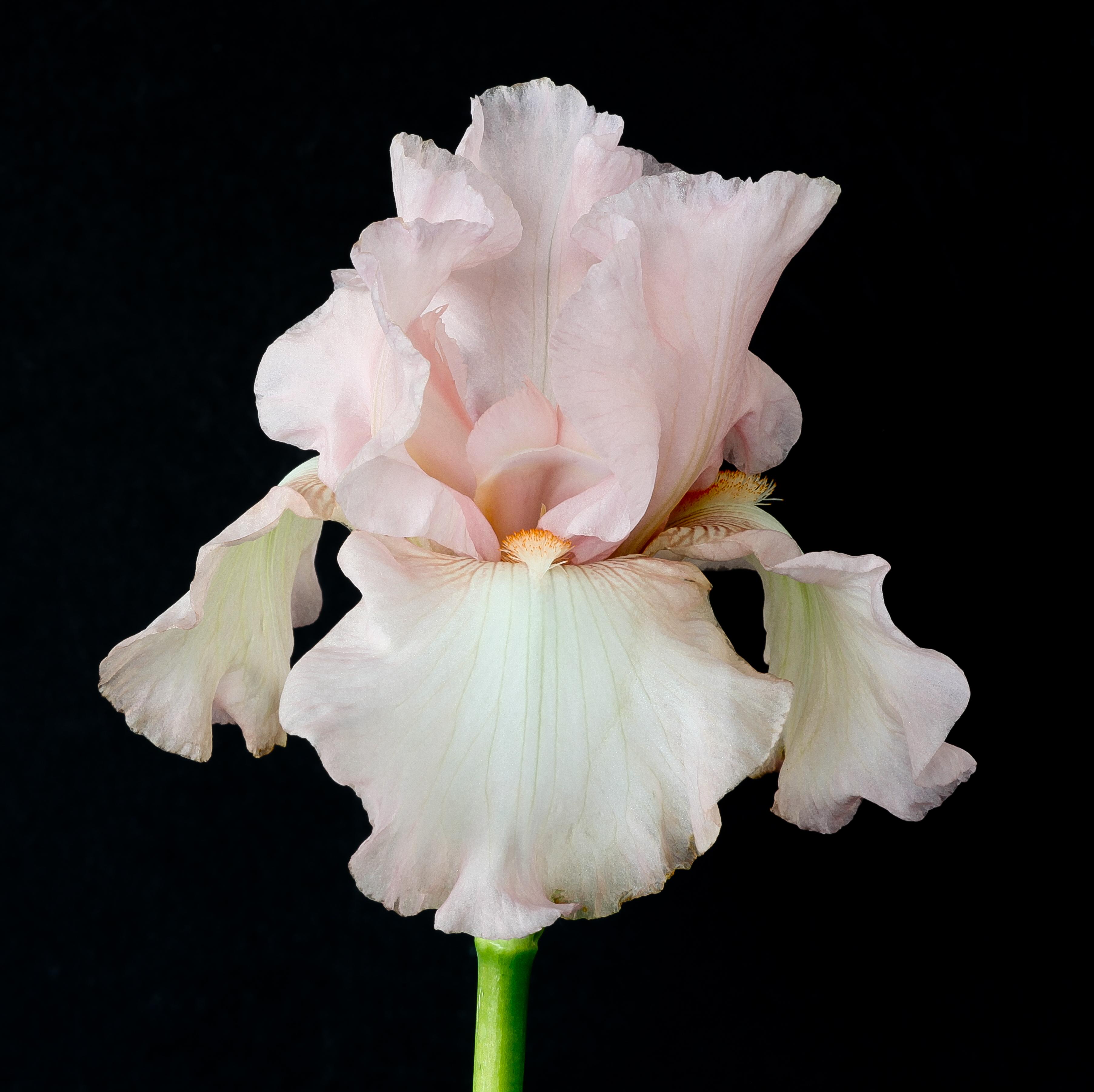 Filepink Iris 9098684337g Wikimedia Commons