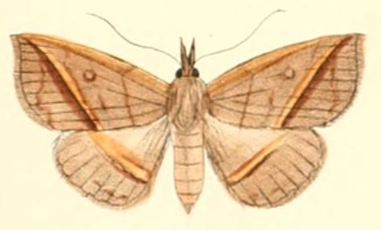 Tập tin:Pl.6-07-Talapoptera duplexa (Moore, 1882)