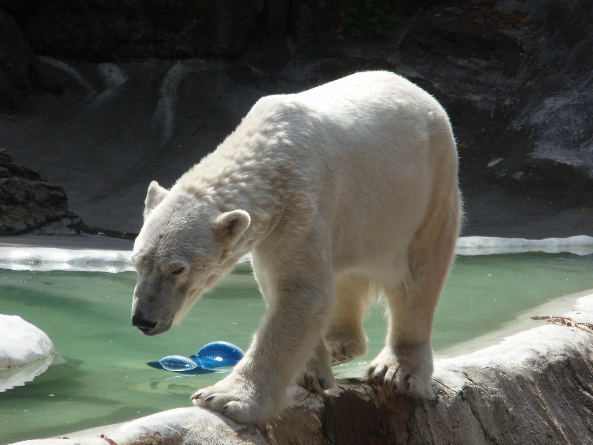 Polar Bear Eats Dog