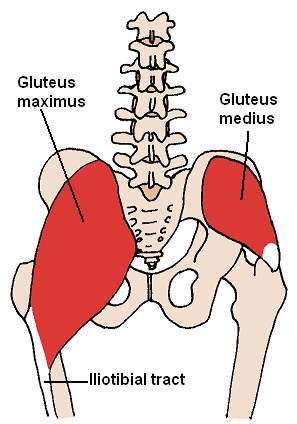 Posterior view of Gluteus maximus and Gluteus ...