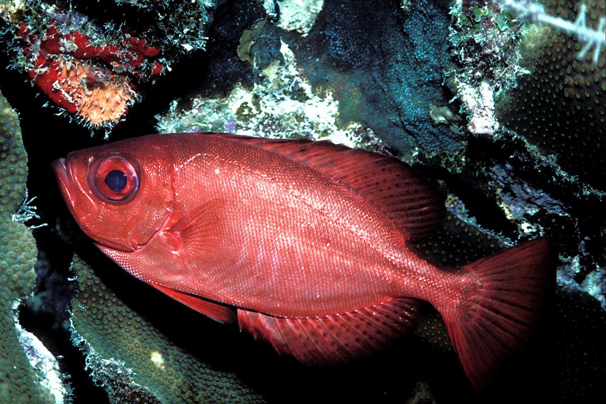 Priacanthidae - Wikipedia