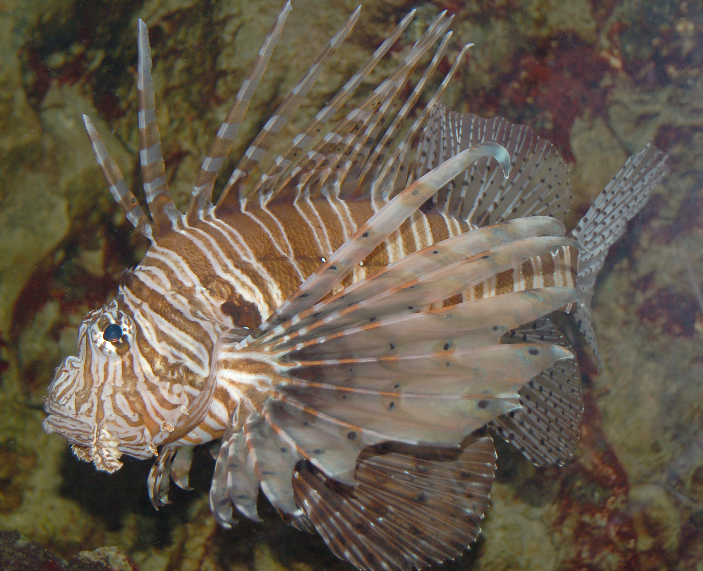 Are Grouper Eating Invasive Lionfish? | Oceanographer's Choice
