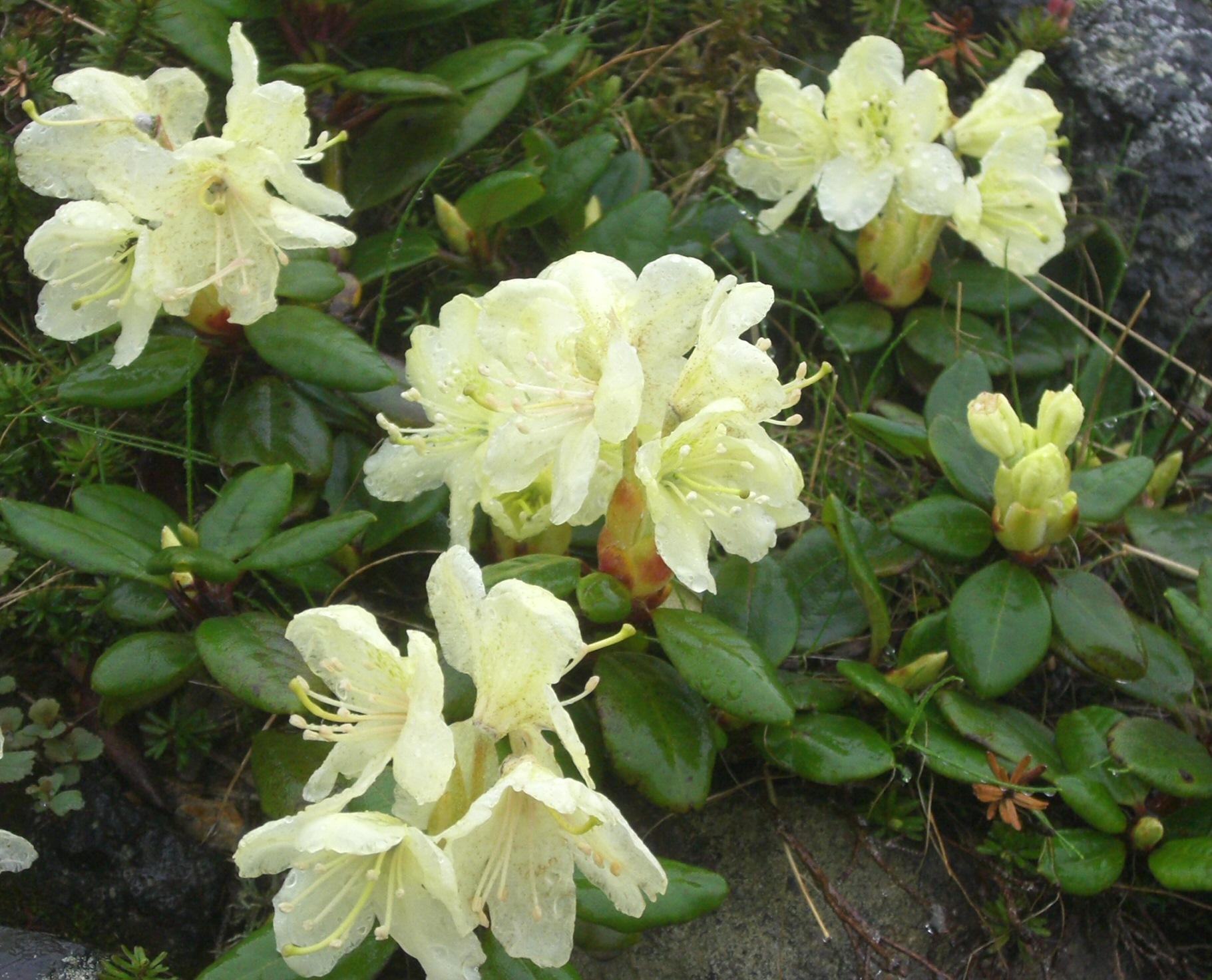 Rhododendron aureum க்கான பட முடிவு