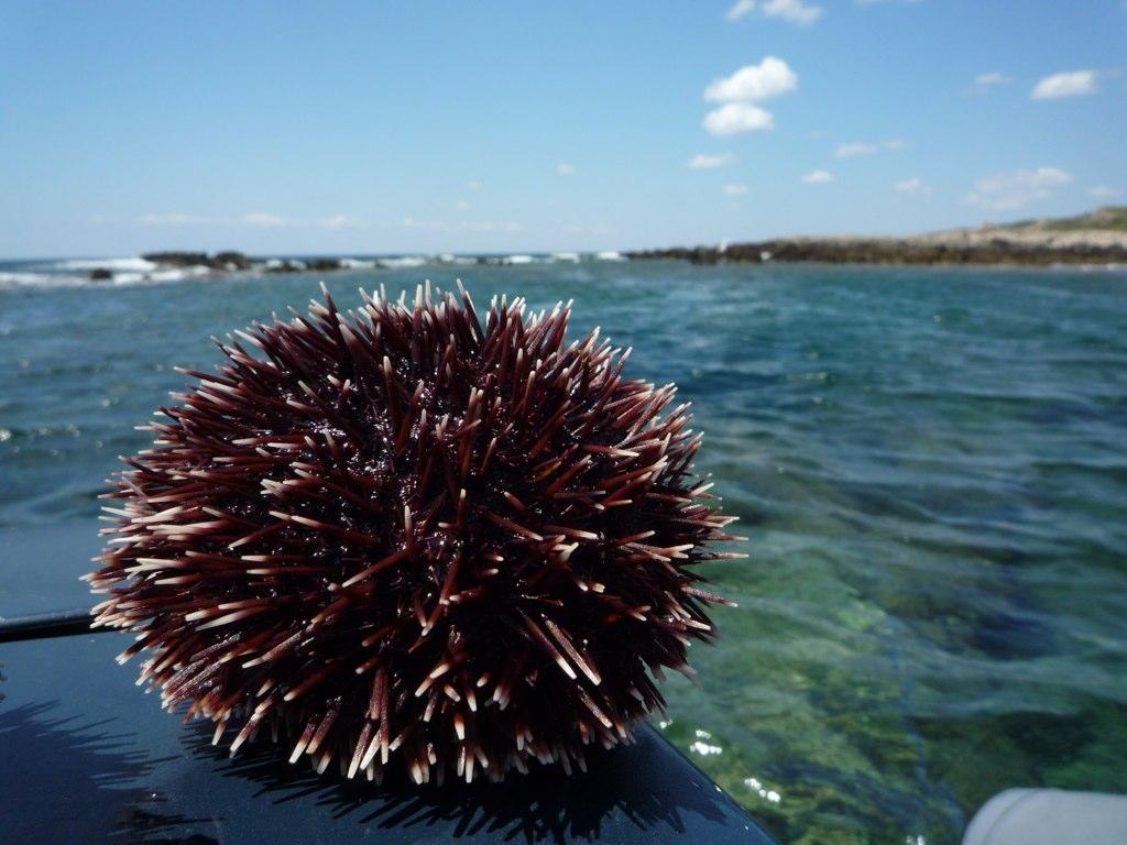 Come allevare ricci di mare