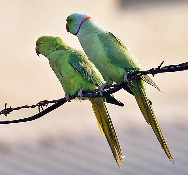 Ficheiro:Rose-ringed Parakeets (Male & Female)- During Foreplay at Hodal I Picture 0034.jpg