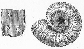Urzeit-Quiz - Seite 4 Spirorbis_carbonarius