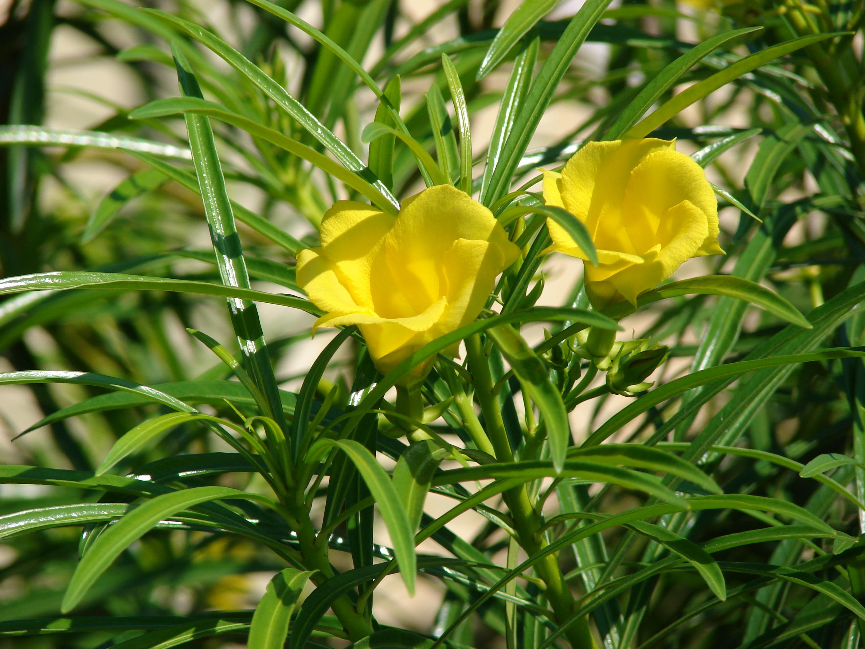 Cascabela thevetia - Wikipedia