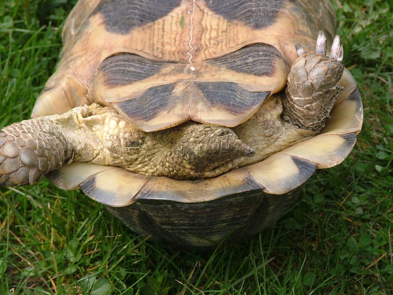 File testudo marginata weibchen0007 jpg wikimedia commons for Tartaruga di terra maschio o femmina