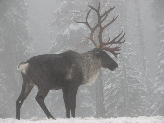 Woodland Caribou Southern Selkirk Mountains of Idaho 2007.jpg