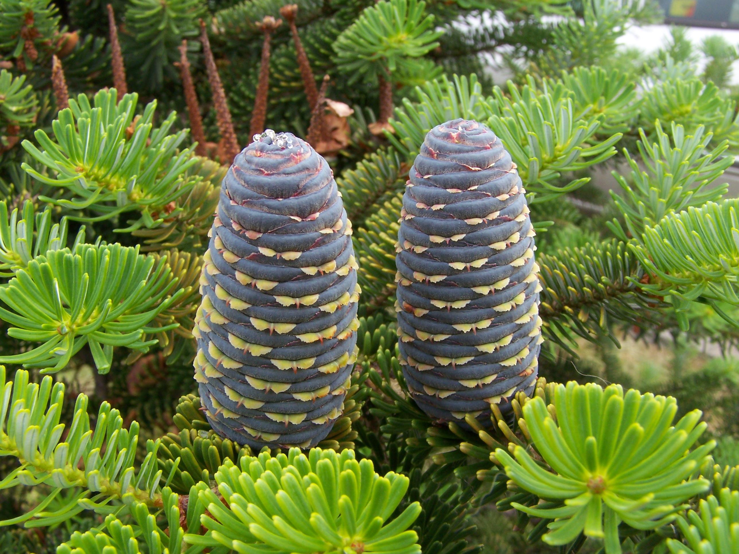 California Red Fir Evergreen,Christmas Tree X 25 Seeds Red Fir,Abies Magnifica