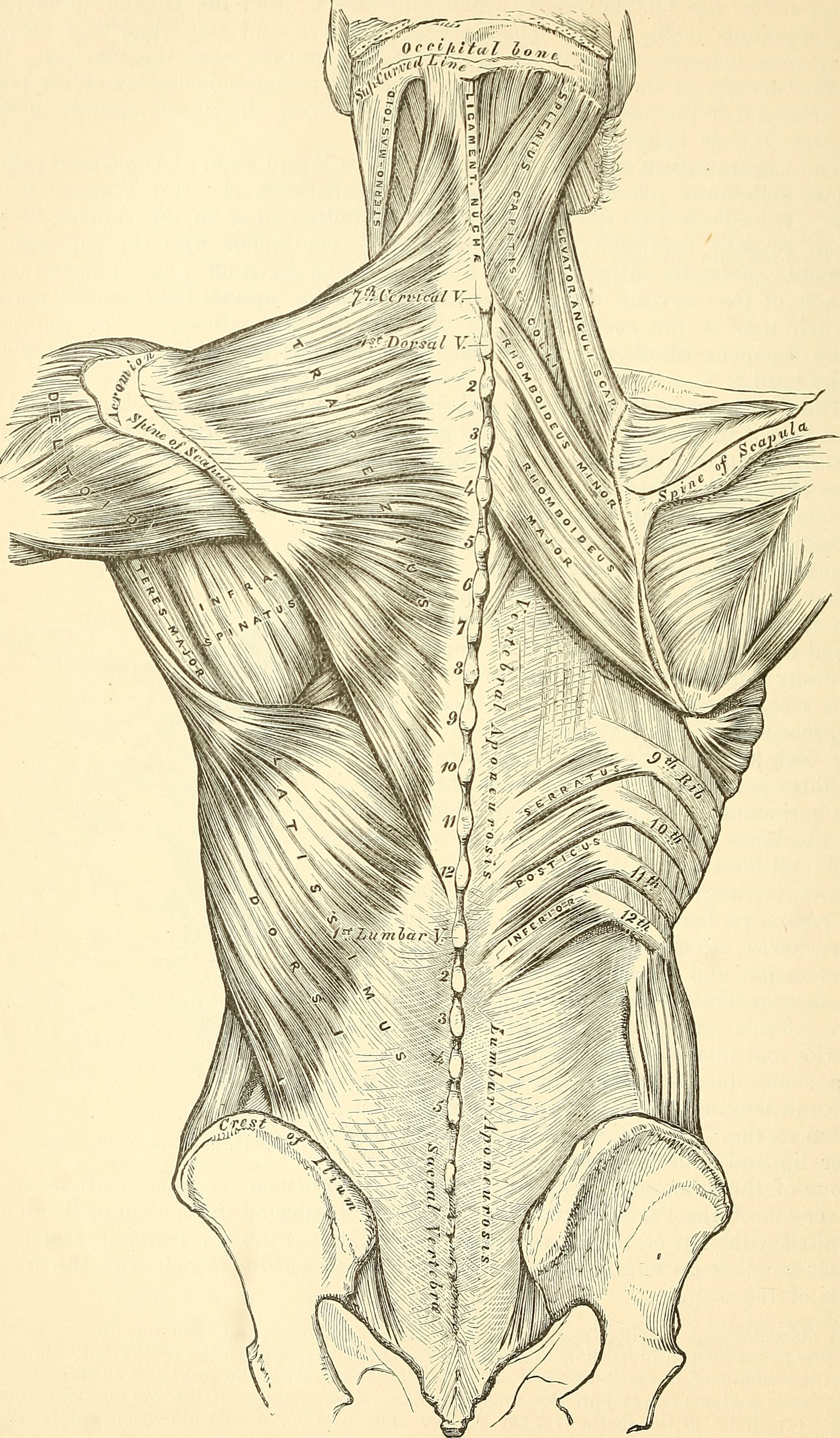 File:Anatomy, descriptive and surgical (1887) (14579119868).jpg ...