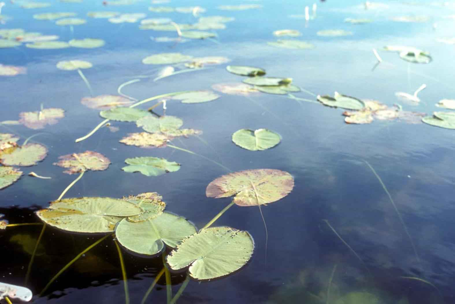File Aquatic Environments Plants Water Lilies Leaves Jpg