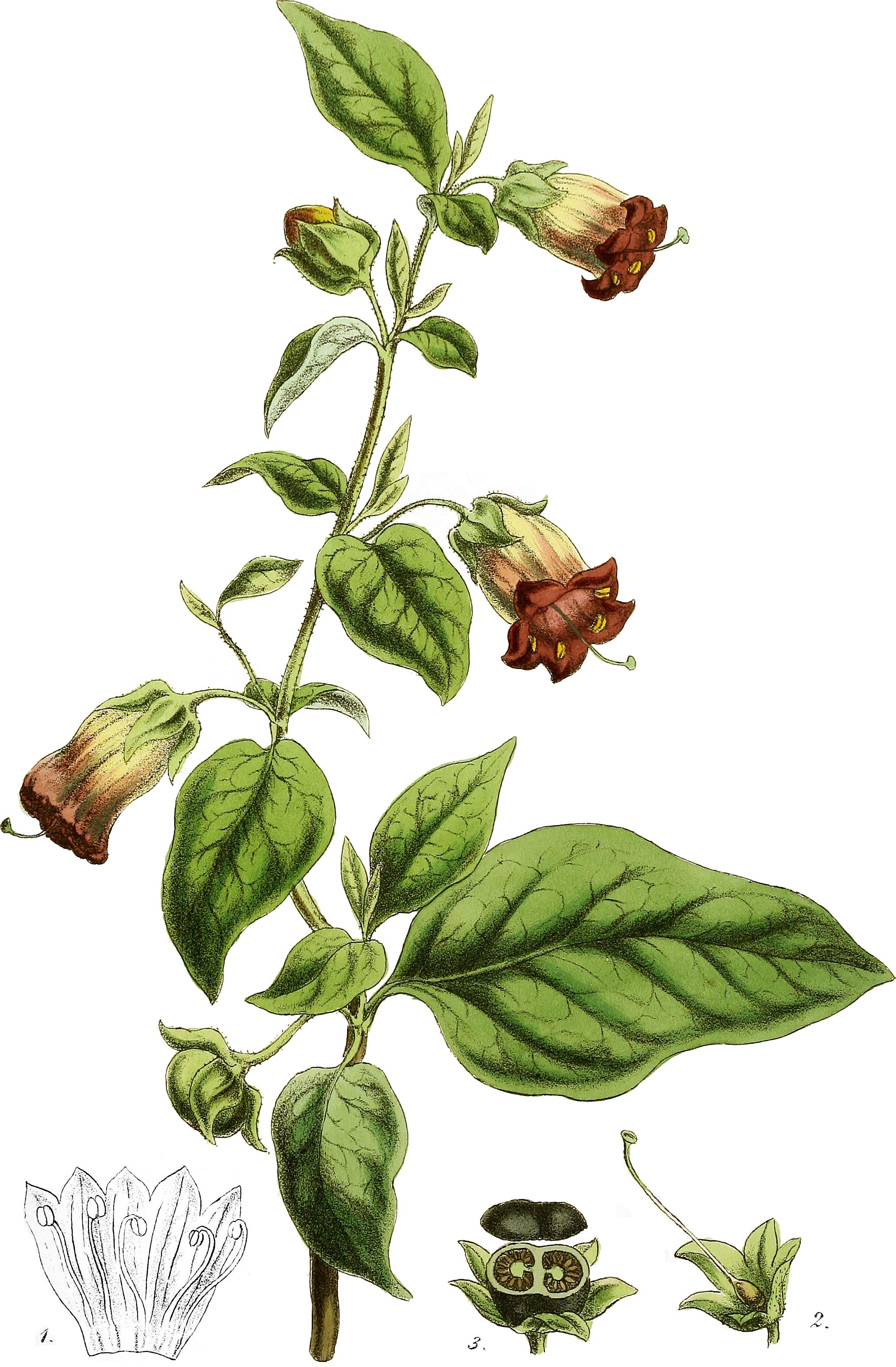 белладонна раскраска растение закрывается закроется пока