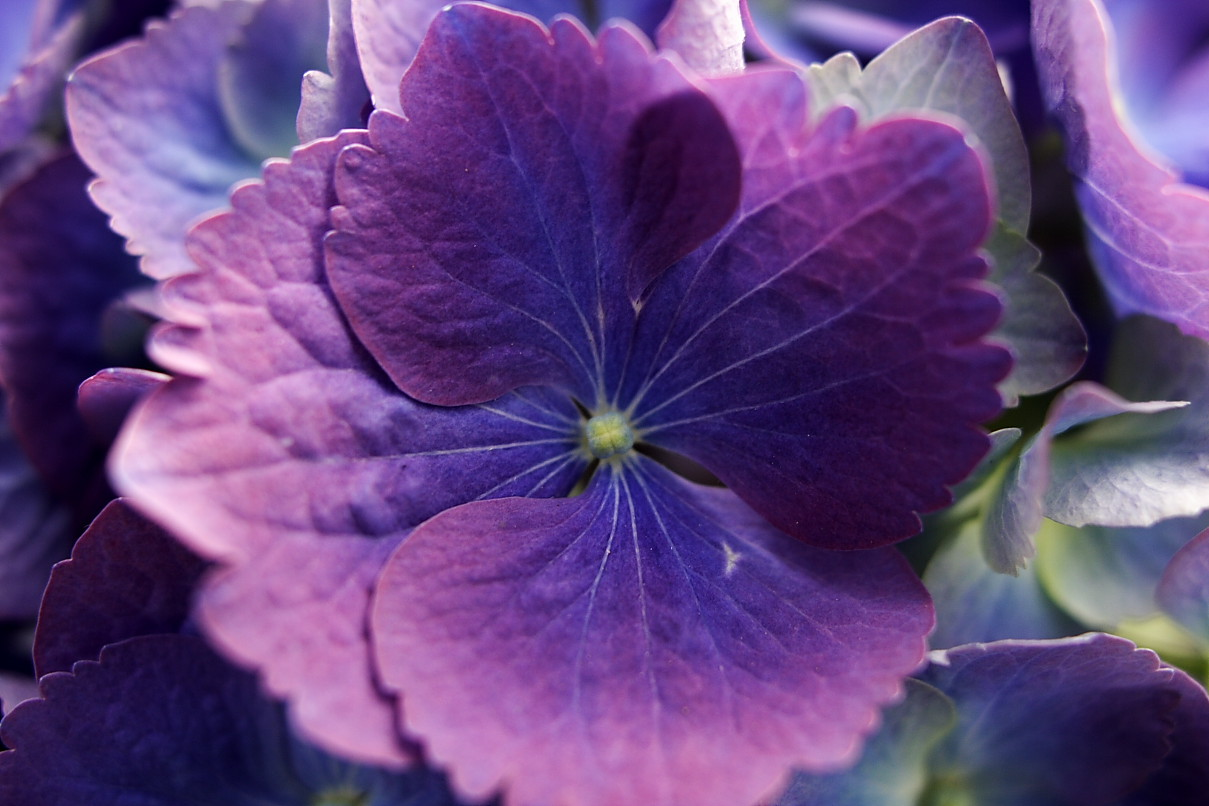 Blue and purple roses for pinterest