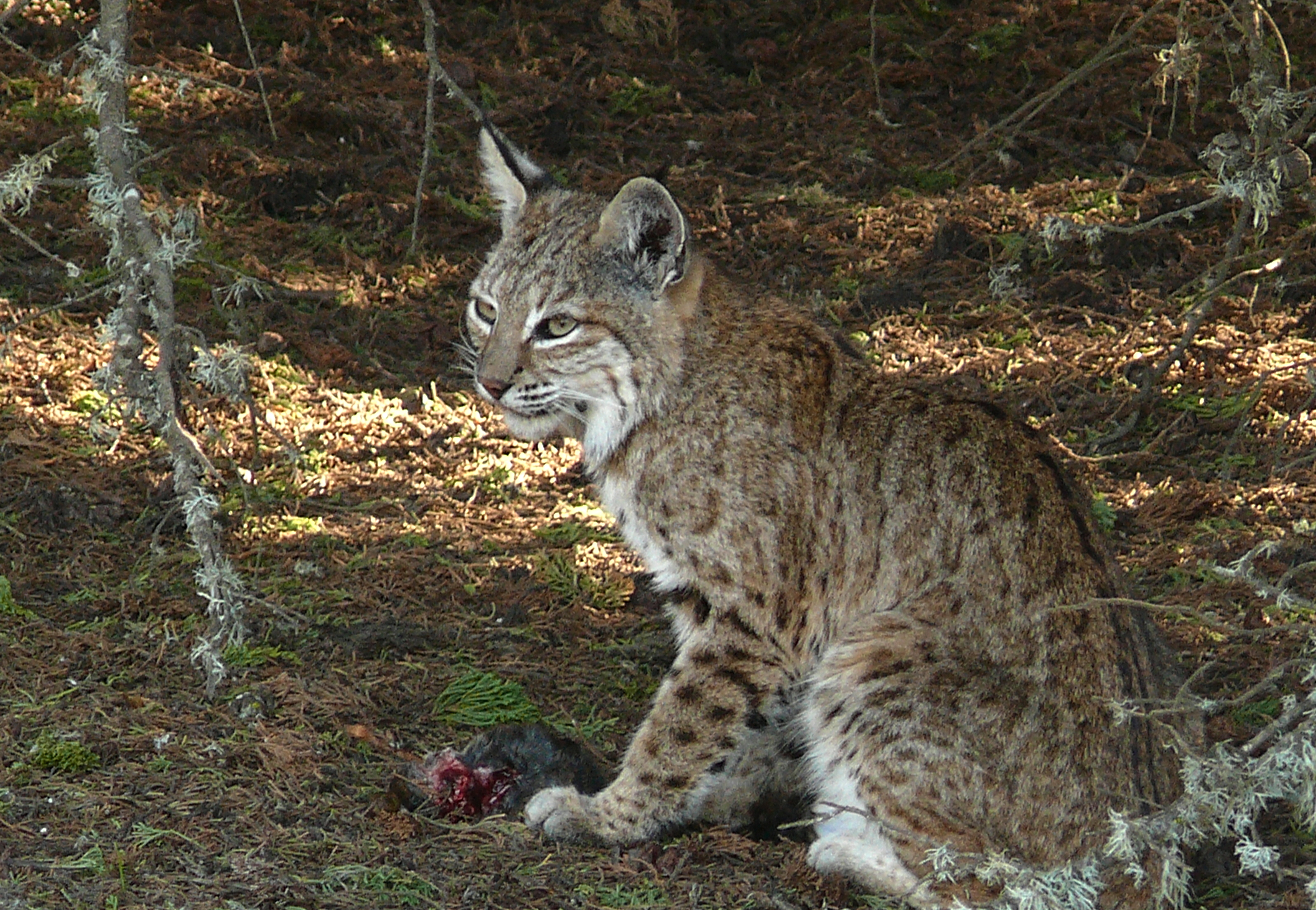 Wild Cat Rescue In Indiana