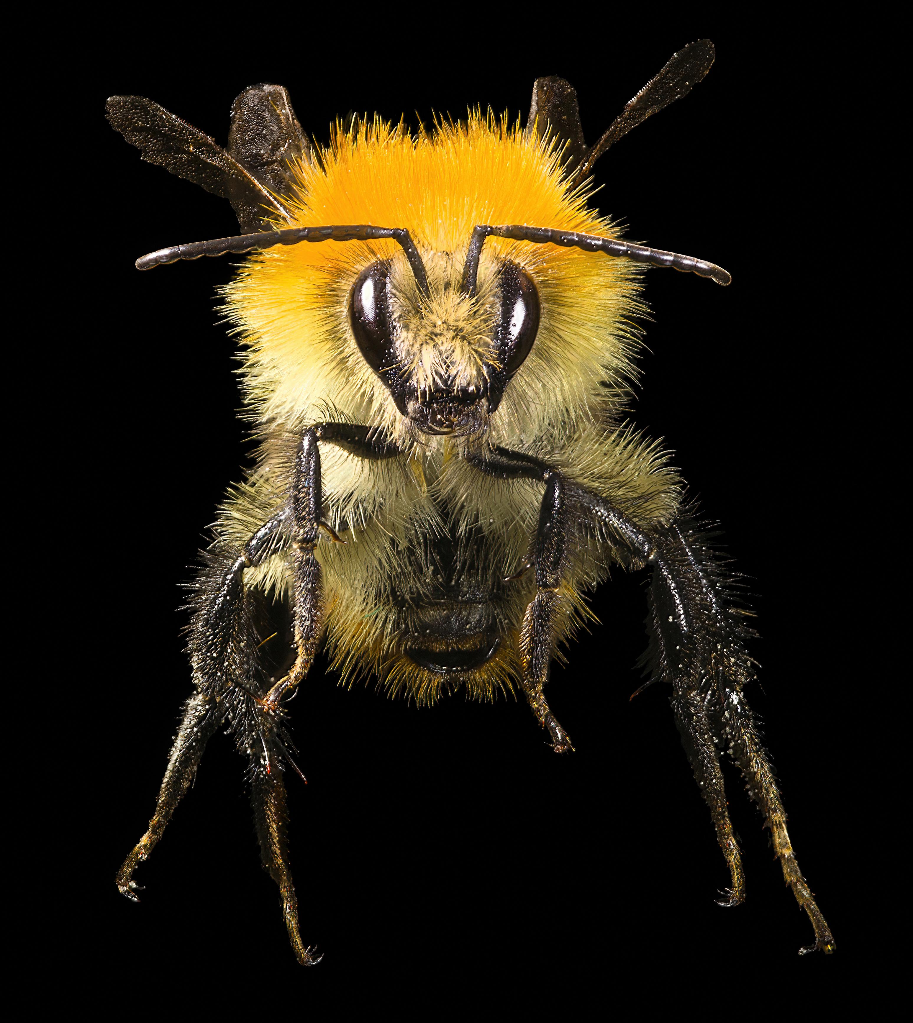 Black Bumble Bee >> File:Bourdon des champs Face.jpg - Wikimedia Commons