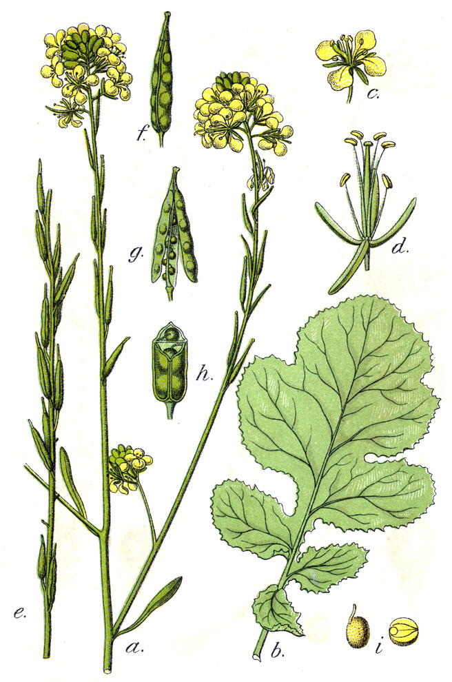 Mustard Seed Drawing The Black Mustard Plant