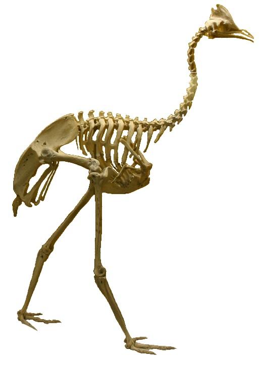 Cassowary skeleton - photo#6