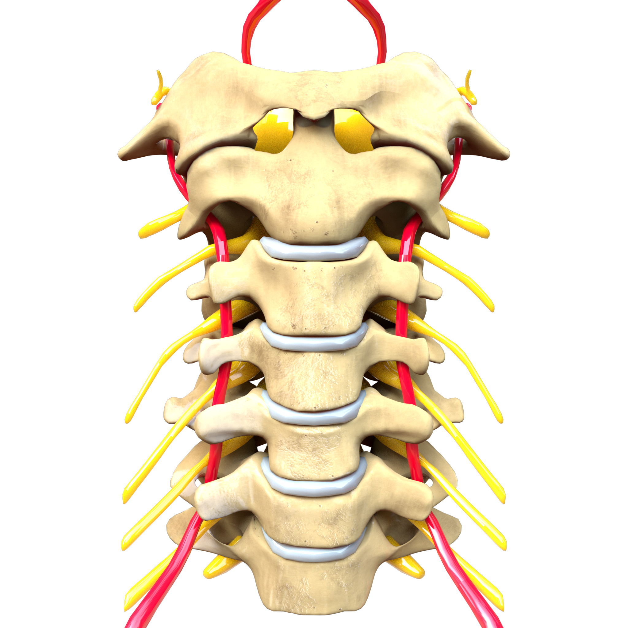 Filecervical Spine Computer Generated Imageg Wikimedia Commons