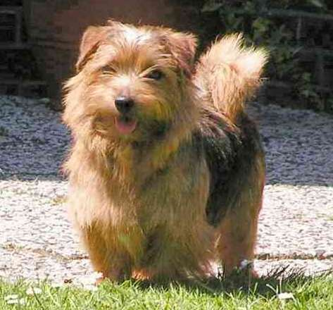 Dog - Norfolk Terrier Information for Kids Youtube Collage Drawing