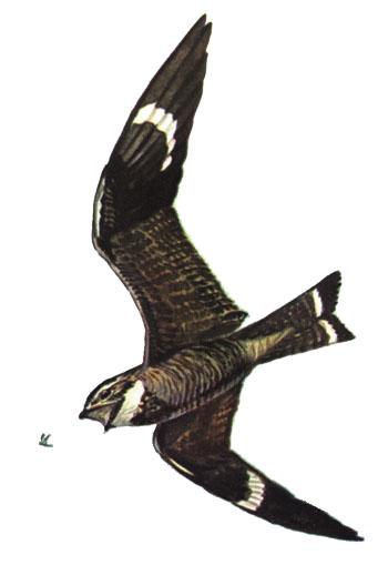 Common Nighthawk (painting via Wikipedia)