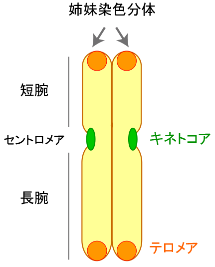 ファイル:ChromosomeCartoon1.png
