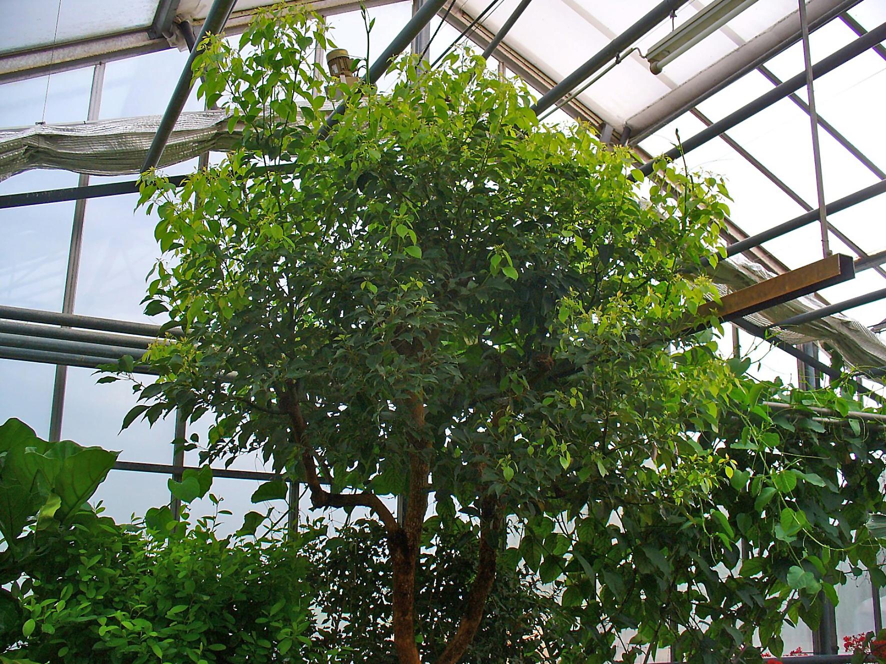 File cinnamomum camphora 001 jpg wikimedia commons for Arboles frutales de hoja perenne para jardin