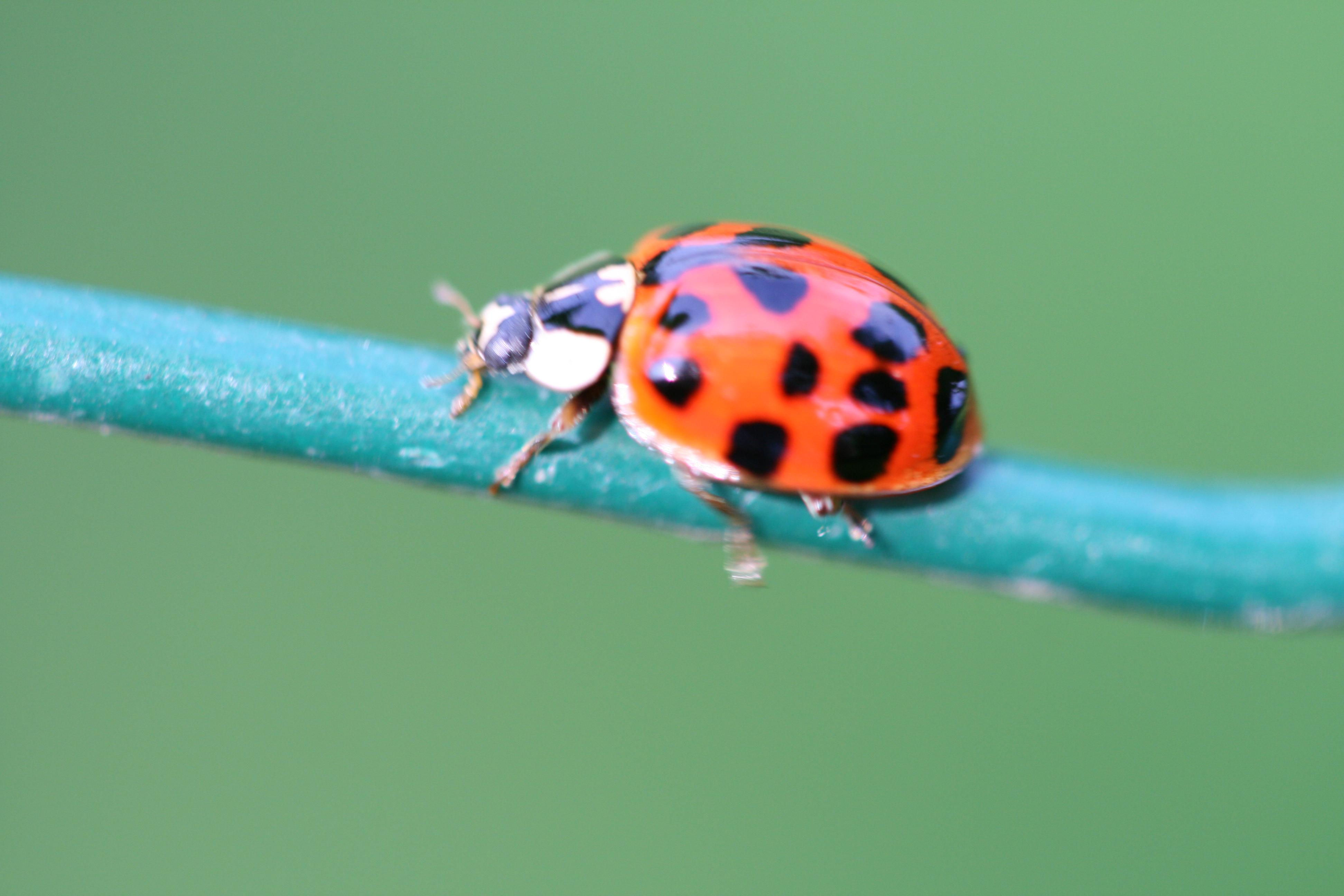 filecoccinellidae 08062008jpg wikimedia commons