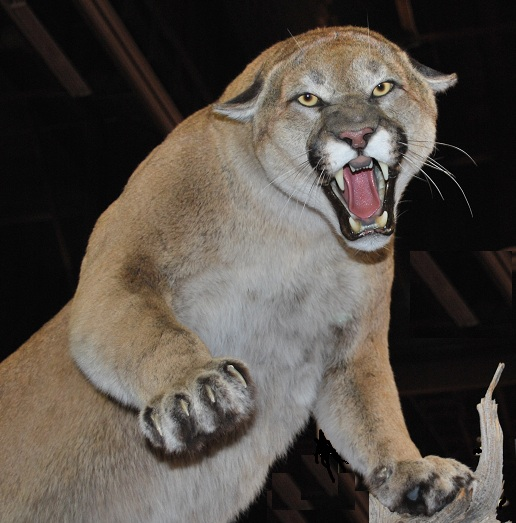 File:Cougar Nevada.jpg