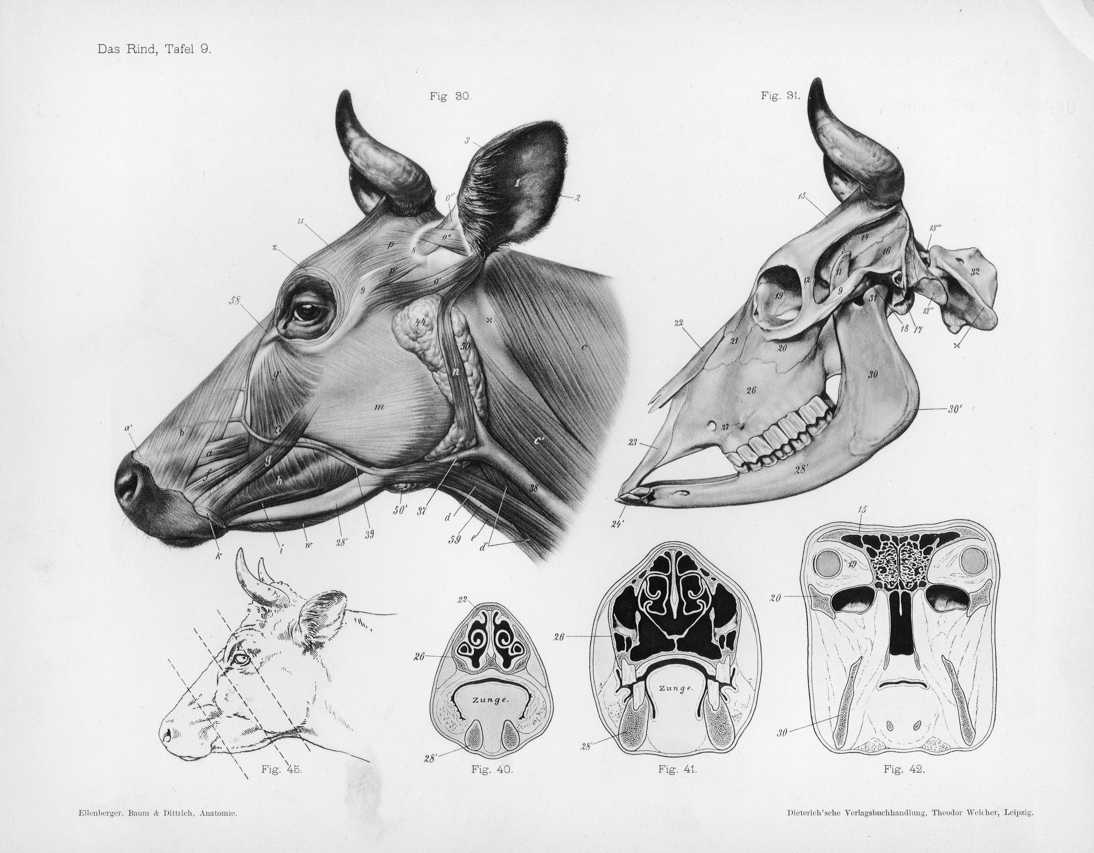 File:Cow anatomy.jpg - Wikimedia Commons