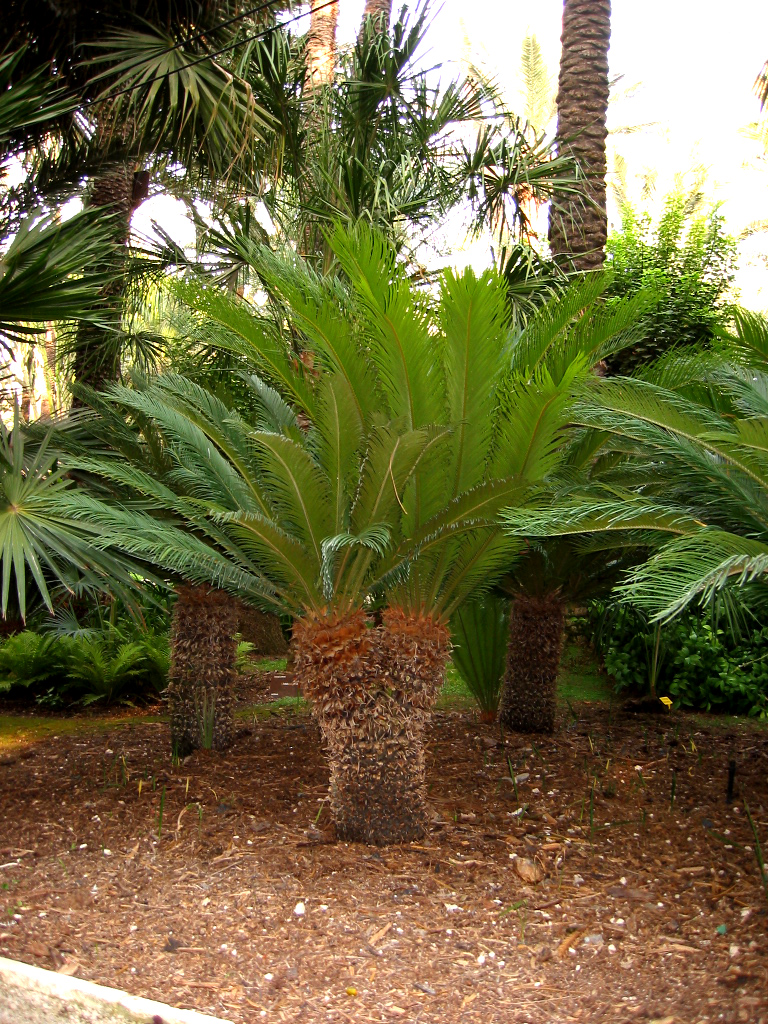 File cyca wikimedia commons for Palma cycas