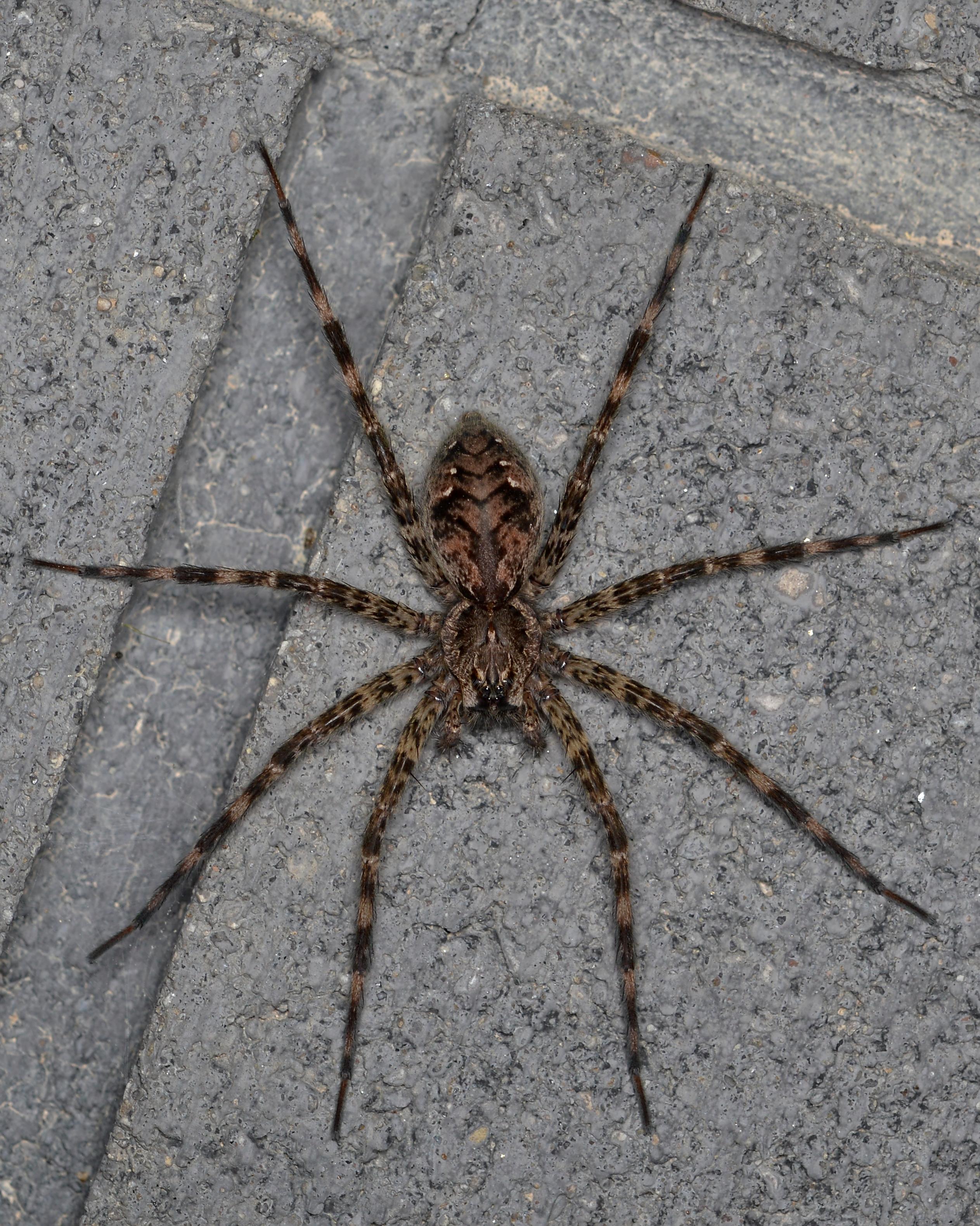 File Dark Fishing Spider Dolomedes Tenebrosus Guelph Ontario 02 Jpg Wikimedia Commons