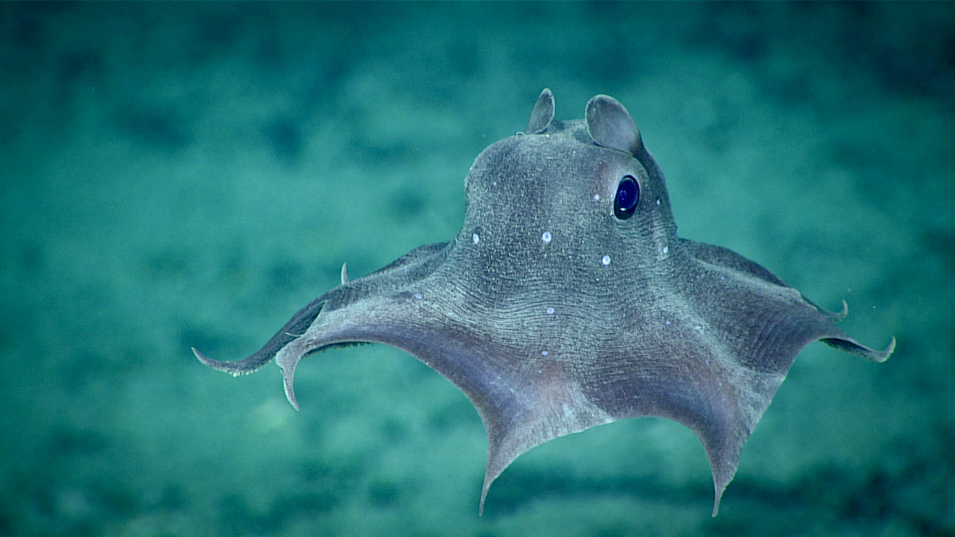 File:Dumbo Octopus (49203817176).jpg - Wikimedia Commons