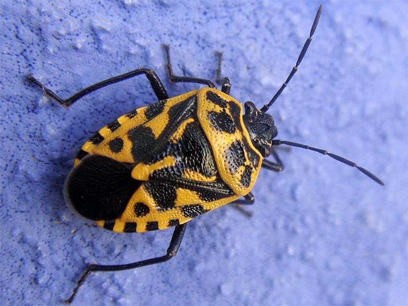 Eurydema ventralis - крестоцветный клоп (фото)