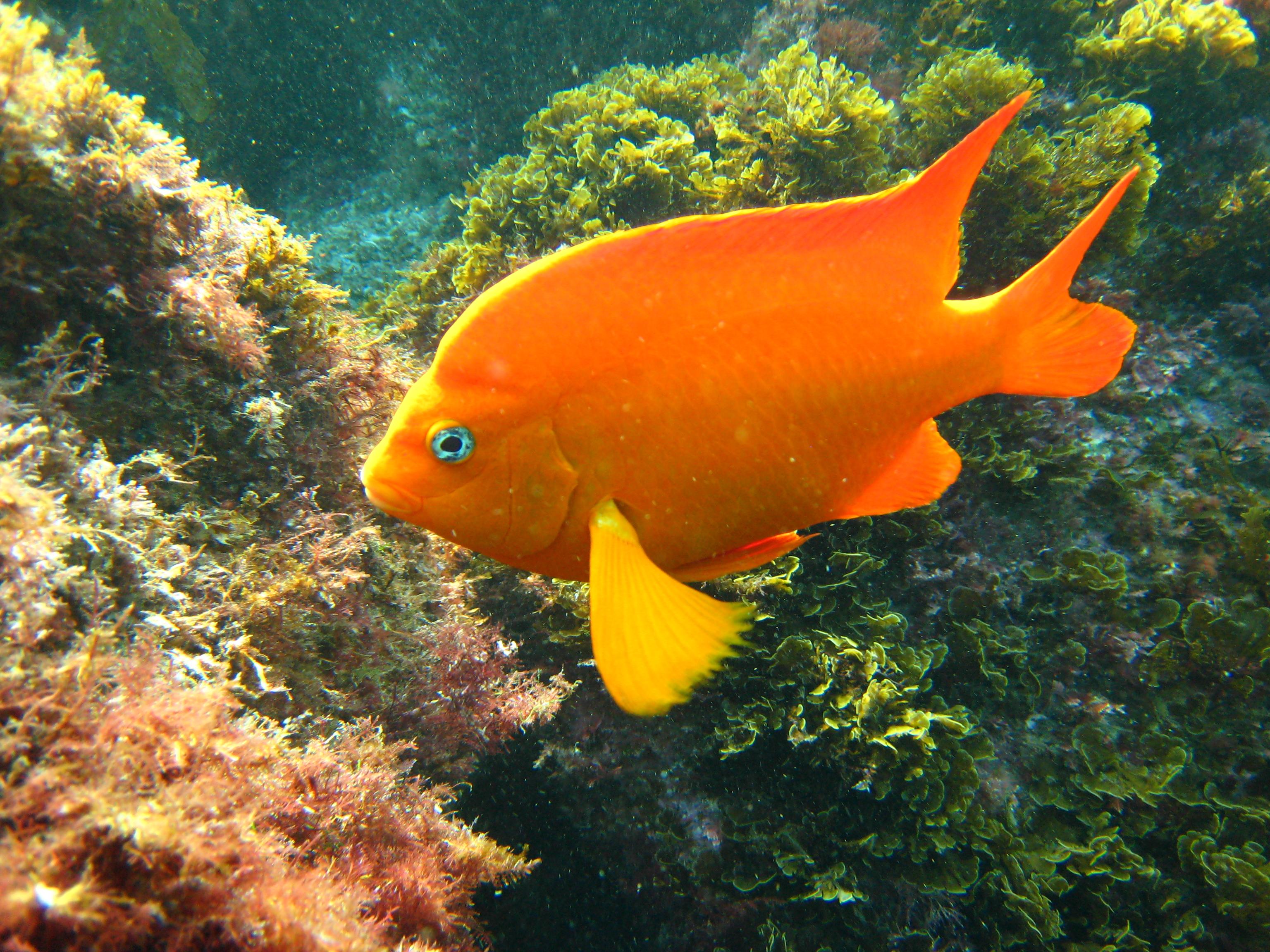 File garibaldi for California freshwater fish