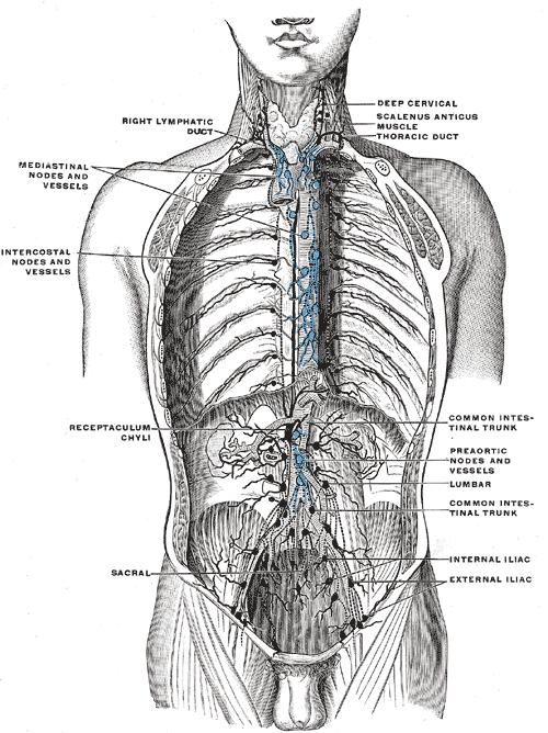 Intercostal lymph nodes - Wikiwand