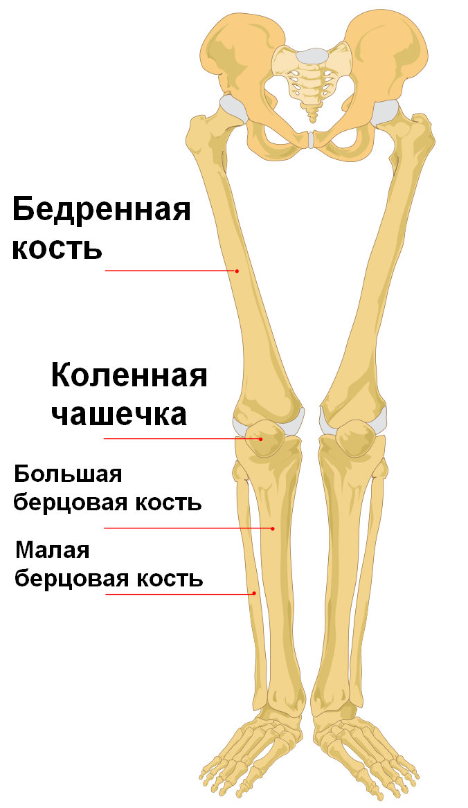 Filehuman Leg Bones Labeled Rug Wikimedia Commons