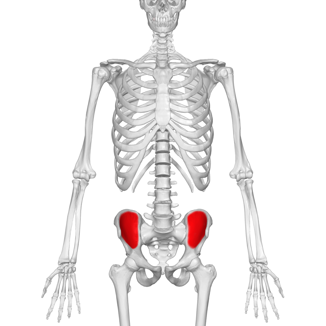 File:Iliac fossa 01 anterior view.png - Wikimedia Commons