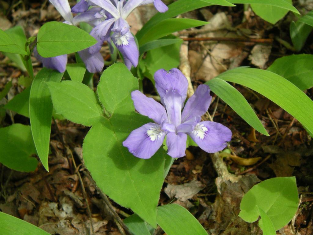 Iris cristata wikipedia izmirmasajfo