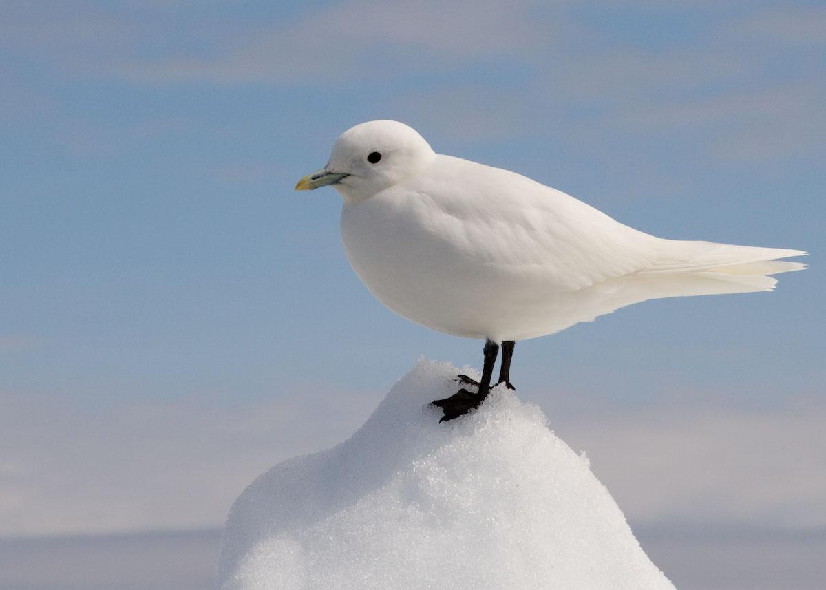 Ivory gull - Wikipedia