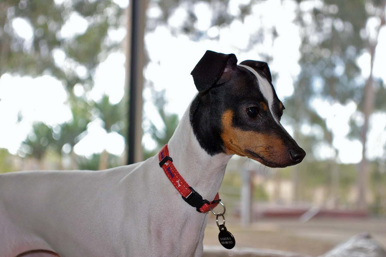 Terrier japonês - Dog Scanner