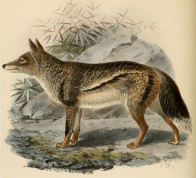 Keulemans sidestriped jackal