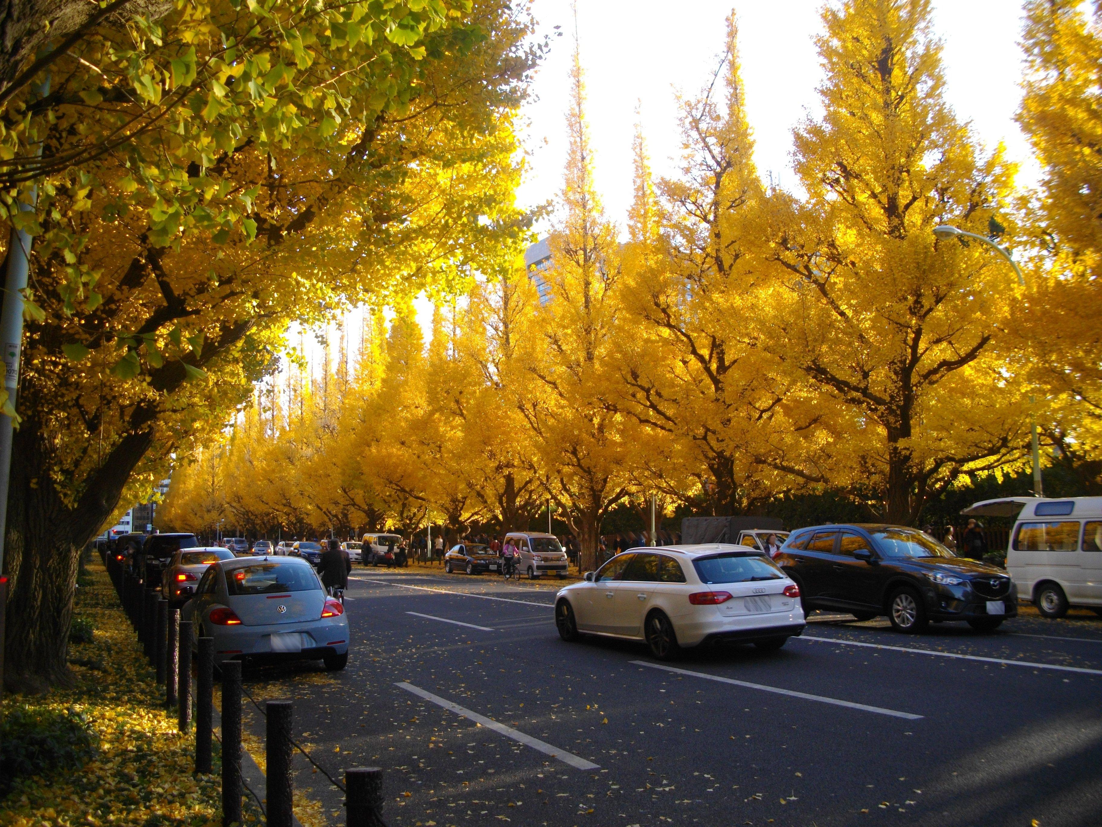 File meiji jingu outer garden ginkgo trees 2013 for Outer garden