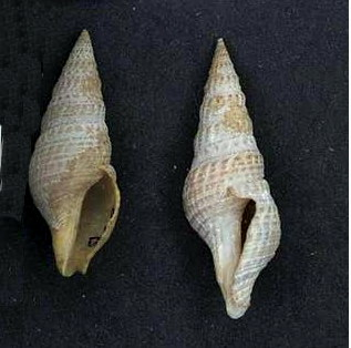 <i>Phenatoma rosea</i> species of mollusc